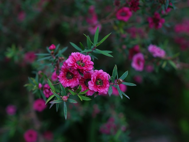 rostlina manuka